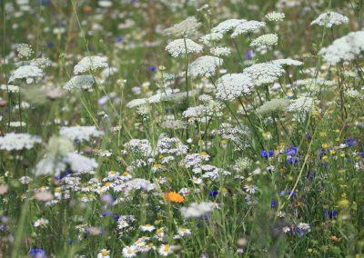 Blumenwiese_001