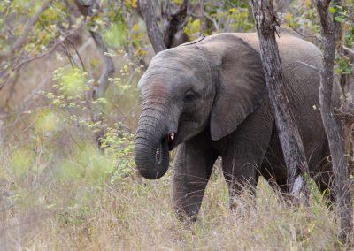 MV_SA_Elefant_003