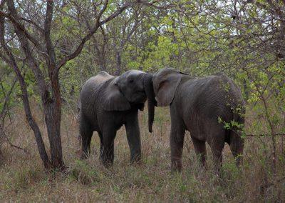 MV_SA_Elefant_004