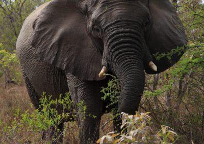 MV_SA_Elefant_007