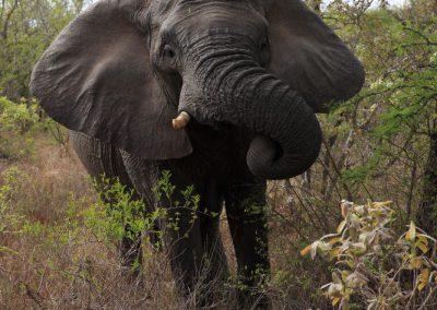 MV_SA_Elefant_008