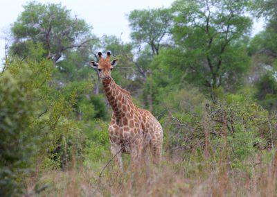 MV_SA_Giraffe_001