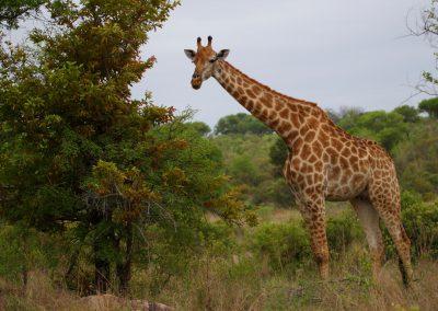 MV_SA_Giraffe_002