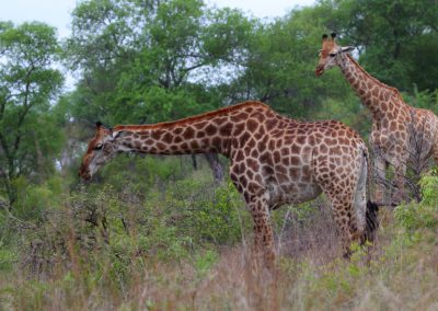 MV_SA_Giraffe_003