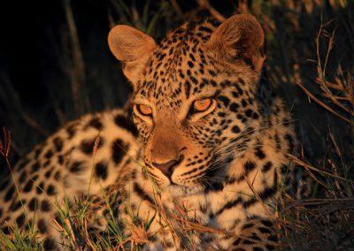 MV_SA_Leopard_001