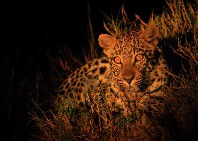MV_SA_Leopard_002