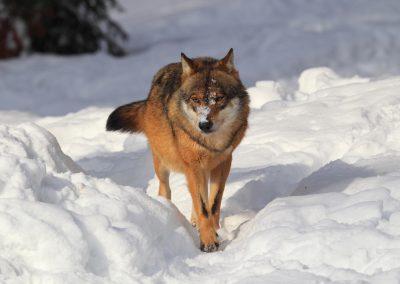 MV_Wolf_002