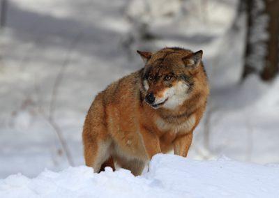 MV_Wolf_006
