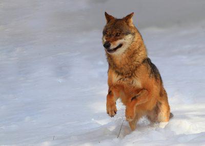MV_Wolf_008