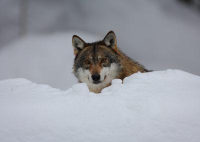MV_Wolf_011